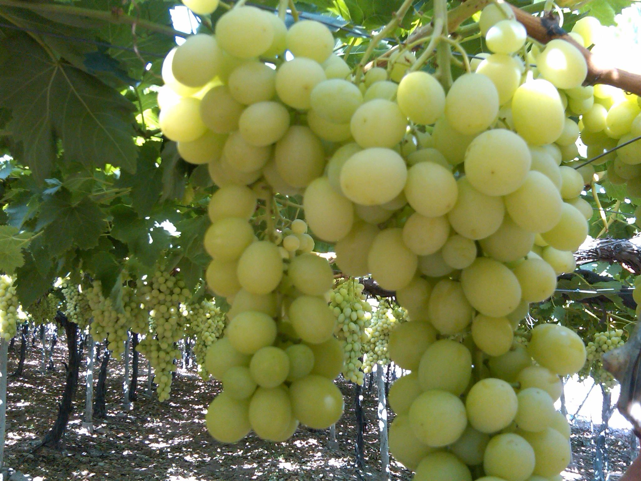 TENSOCAB K en uva