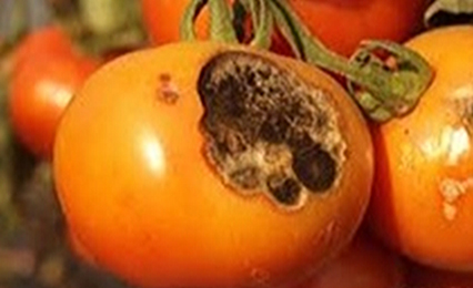 Alternaria Solani (tomate)